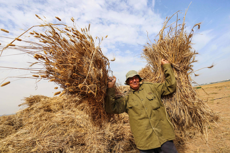 A Palestinian farmer harvests wheat at a field adjacent to the boundary with Israel, Khan Younis, southern Gaza Strip, 20 May. Ashraf Amra APA images