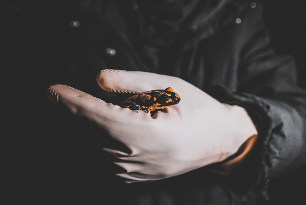 Image shows a hand holding a salamander